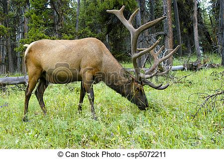 Stock Photography of Bull Elk Grazing.