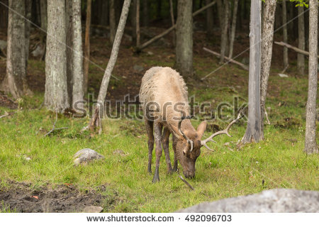 Eating Elk Stock Photos, Royalty.