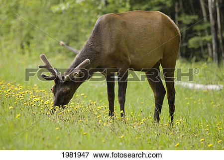 Picture of Elk (Cervus Canadensis) Grazing On Wildflowers In.