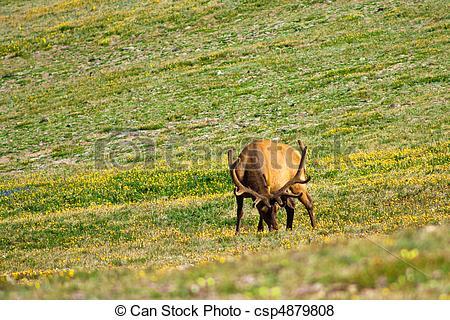 Pictures of Elk Grazing.