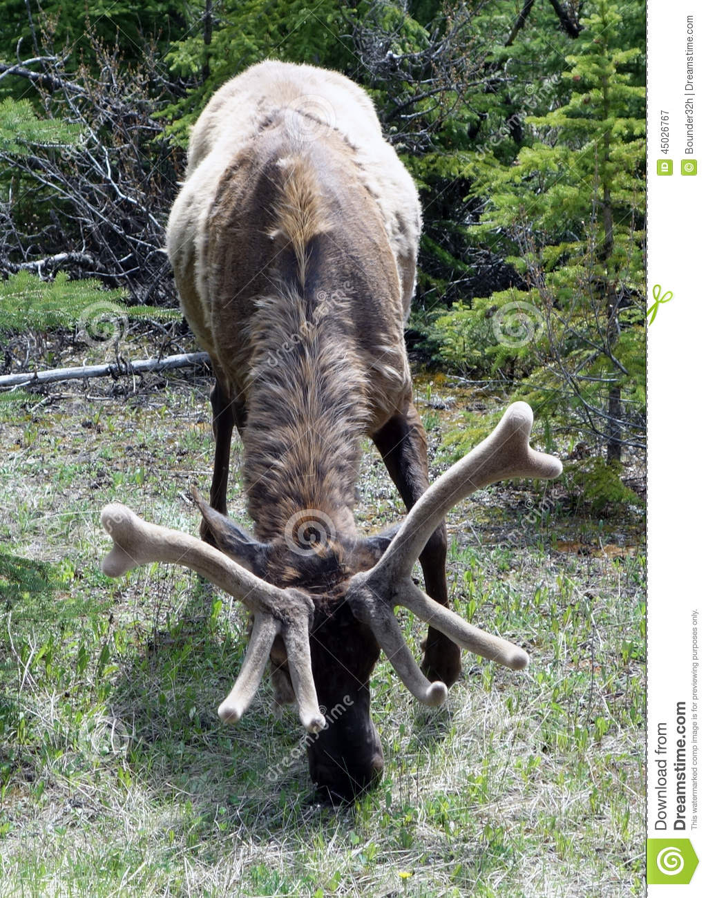 A Grazing Elk With Fuzzy Antlers Stock Photo.