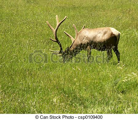 Stock Photography of Grazing Elk.