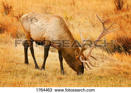 Stock Photo of A grazing elk 1764463.