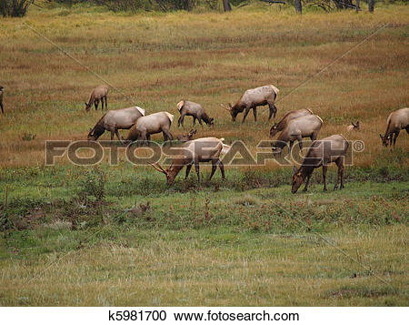 Stock Photography of Grazing Elk k5981700.