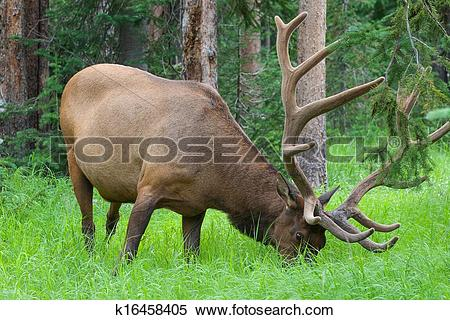 Stock Image of Large bull elk grazing in summer grass in.