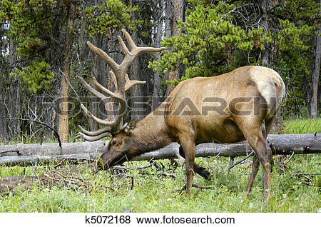 Pictures of Bull Elk Grazing k5072168.
