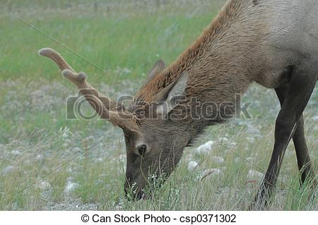 Stock Photo of Elk.