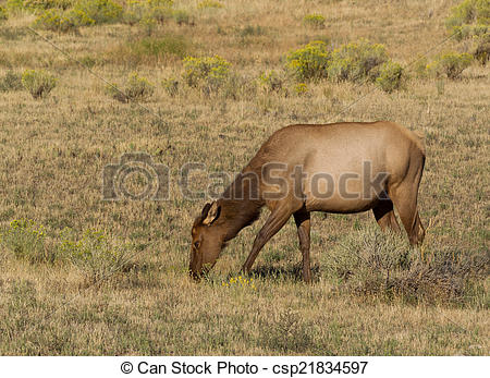 Stock Photographs of Healthy Mature Cow Elk Grazing in Open Field.