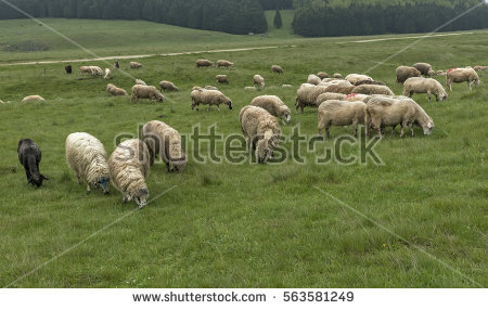 Flock Sheep Meadow On Cloudy Day Stock Photo 419282014.