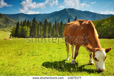 Cow Tree Stock Photos, Royalty.