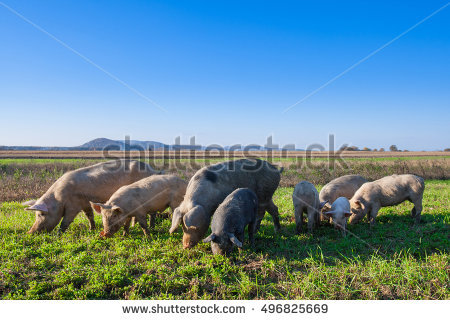 Pig Field Stock Photos, Royalty.