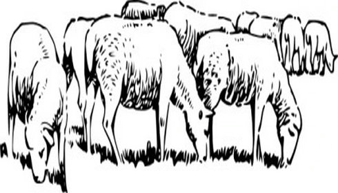 Grazing sheep clipart #16