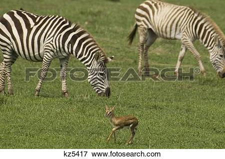 Picture of two zebras grazing baby thomson's gazelle foreground.