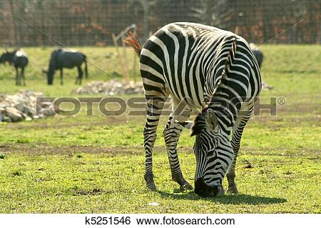 Stock Images of Grazing Grant's zebra (Equus burche k5251546.