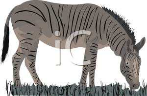 Grazing_Zebra_Royalty_Free_Clipart_Picture_110326.