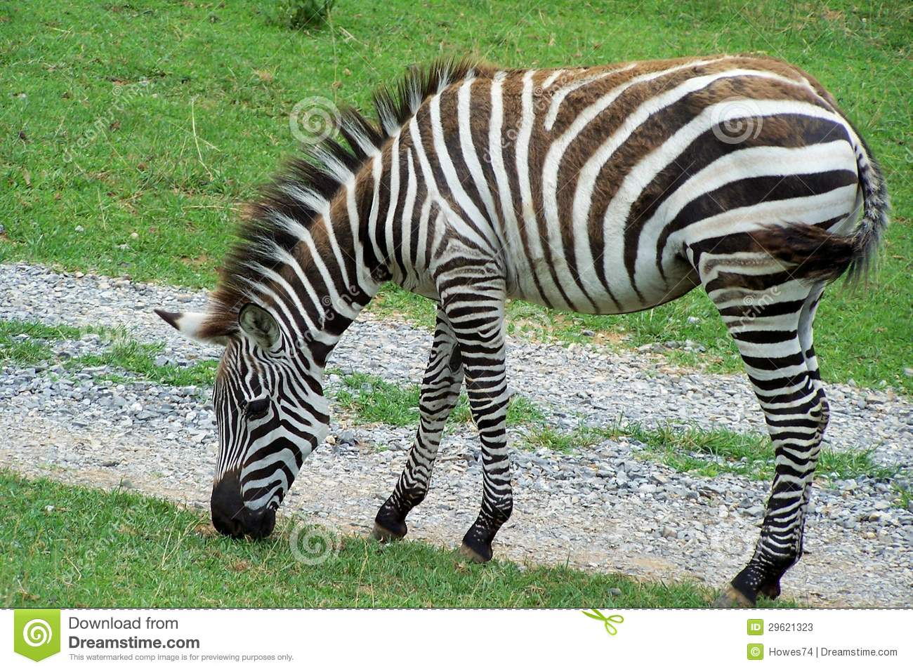 Grazing Zebra Stock Photos.