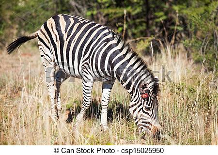 Stock Illustrations of Single wounded zebra grazing between tall.