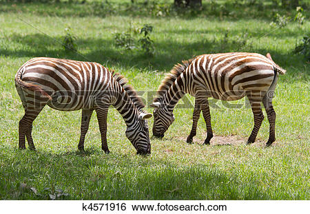 Stock Images of Two zebras grazing at Lake Nakuru reserve k4571916.