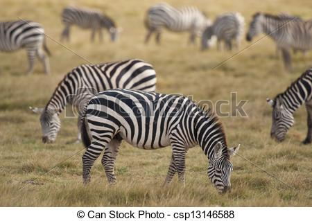 Pictures of Zebra grazing.
