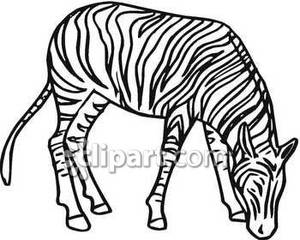 and White Zebra Grazing.