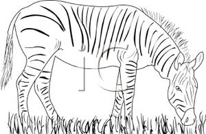 and White Grazing Zebra.