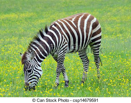 Stock Photographs of Grant's Zebra grazing in grassland.