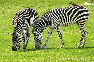 African Zebras Grazing Stock Photo.
