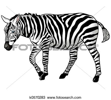 Drawing of Grazing zebra k0570283.