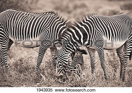 Stock Image of Two Zebras Grazing Together; Kenya 1943935.