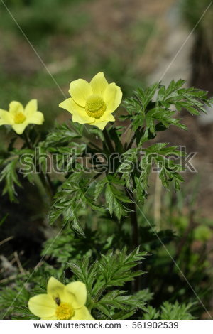 Alpine Pasqueflower Stock Images, Royalty.