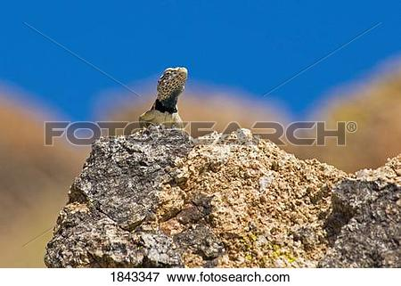 Picture of Great Basin collared lizard (Crotaphytus bicinctores.