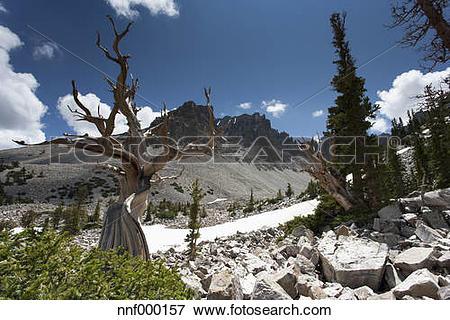 Picture of USA, Nevada, Great Basin National Park, bristlecone.