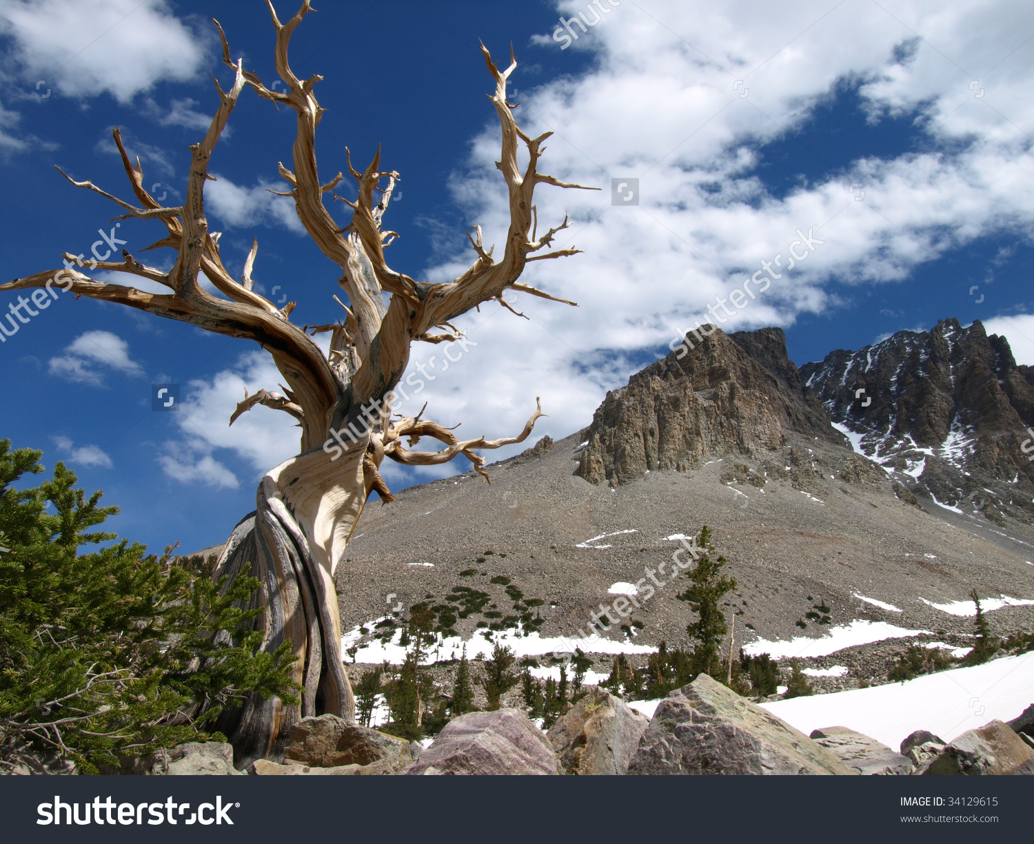 View Bristlecone Pine Tree Mountains Great Stock Photo 34129615.