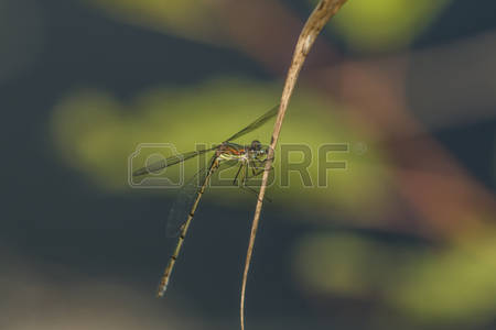 Dragonfly Emerald Images, Stock Pictures, Royalty Free Dragonfly.