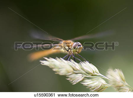 Stock Photography of Dragonfly, close.