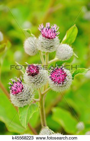 Stock Photo of Flowering Great Burdock (Arctium lappa) k45568223.