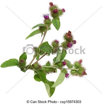 Stock Photography of Great Burdock Flower.