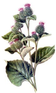 Research Update:Burdock and Its Constituents..