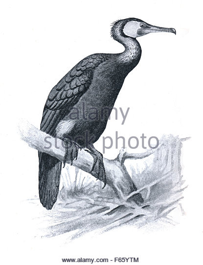 Cormorant Cut Out Stock Images & Pictures.
