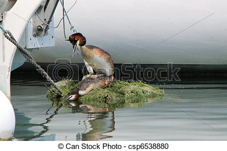 Stock Photography of Couple of great crested grebe ducks having.