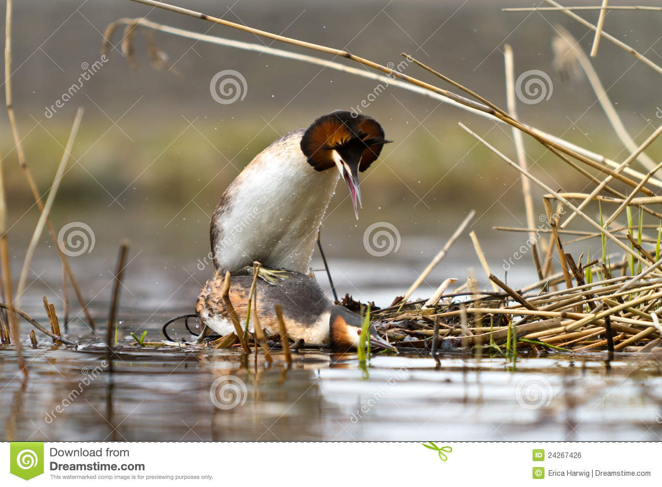 Great Crested Grebe Royalty Free Stock Image.