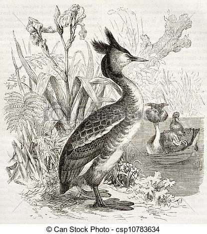 Drawings of Great Crested Grebe old illustration (Podiceps.