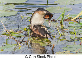 Stock Photography of Great crested grebes mating in spring time.