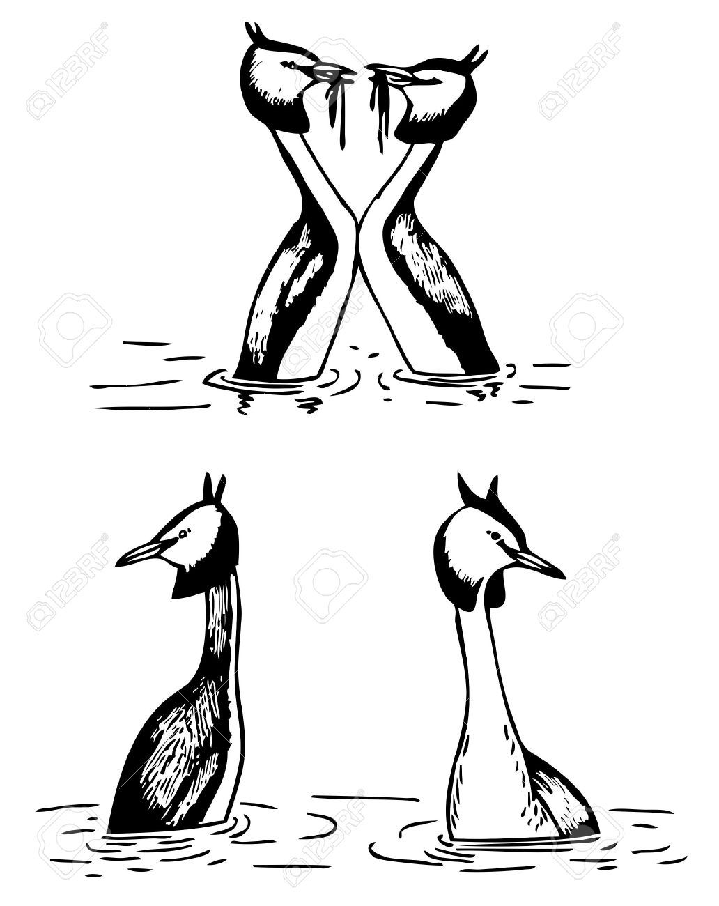Great Crested Grebe Royalty Free Cliparts, Vectors, And Stock.