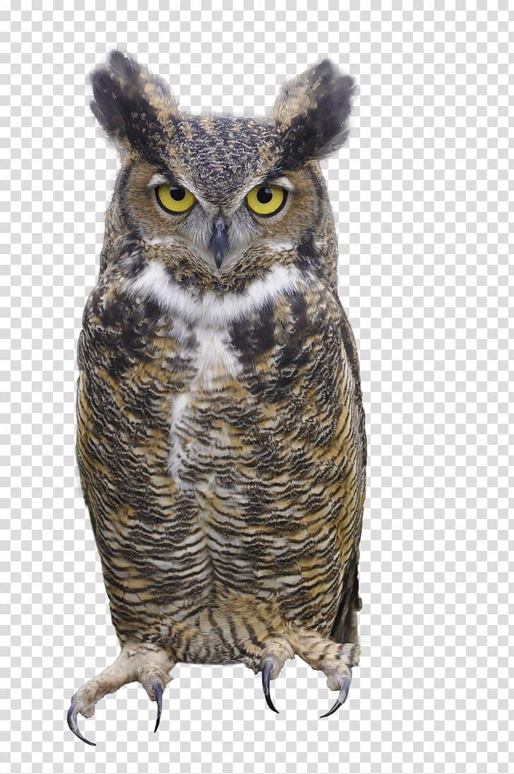 Great horned owl Eurasian eagle.