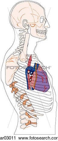 Clipart of Location of heart and great vessels within thorax with.