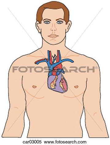Stock Illustration of Location of heart and great vessels within.