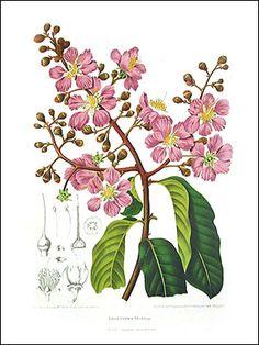 Aconitum vulparia; Aconitum napellus; Aconitum anthora, KKSgb2950.