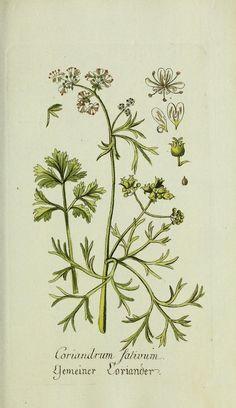 Tanacetum parthenium.