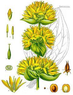 bellis perennis (common names: common daisy, lawn daisy, english.